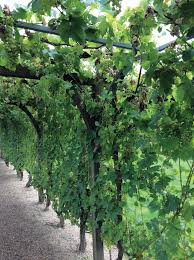 How To Grow Grapes In Your Backyard by Growing Grapes In Southeast Texas The Examiner