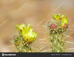 anza borrego desert blooming cactus with yellow flowers in anza borrego desert cali