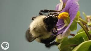 this vibrating bumblebee unlocks a flower u0027s hidden treasure deep