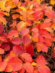 37 fall shrubs u0026 bushes images garden shrubs