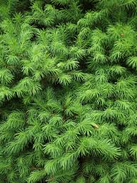 free images tree nature branch leaf green evergreen fir