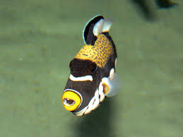 the online zoo clown triggerfish