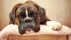 boxer dog origin boxer facts youtube