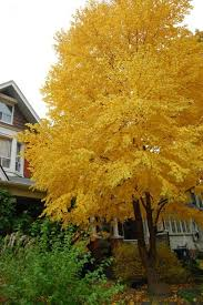 some think the katsura tree smells like caramel or cotton when