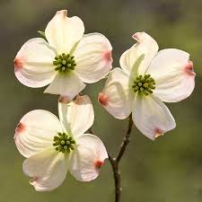 dogwood flowers dogwood tree a cross and the blood of on the flower i was