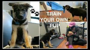 i trained my 10 week old german shepherd puppy in one week smart i trained my 10 week old german shepherd puppy in one week smart dog update