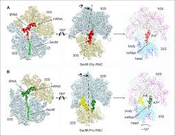 mechanisms of ribosome stalling by secm at multiple elongation