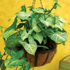 Indoor Vine Plants Syngonium Arrowhead Vine Can Be Tamed To Grow Upright Or Can Grow
