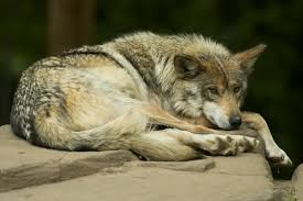 file mexican wolf lounging jpg wikipedia
