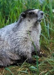 yellow bellied marmot animal squirrel wildlife