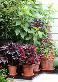 plant portraits aeonium arboreum u0027zwartkop u0027 u2013 the frustrated gardener