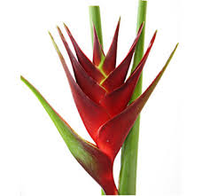 Dark Red Flower - buy bulk heliconia tropical flower at wholesale prices