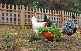 How To Raise Backyard Chickens For Eggs 5 Reasons You Should Consider Raising Backyard Chickens Rodale U0027s