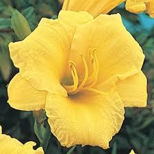 stella daylily stella d oro daylily direct gardening