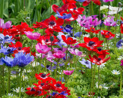 anemone plant anemone de caen bulbs buy online at farmer gracy uk