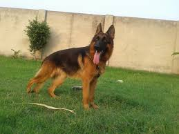 belgian shepherd olx pakistan rs 50 000 all breeds local u0026 imported dogs animals available for