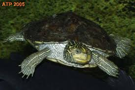 map turtle care sheet northern map turtle