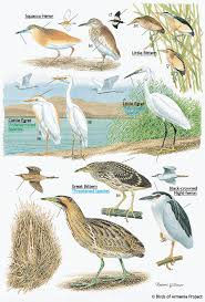 plate 4 herons bitterns and egrets a field guide to birds of