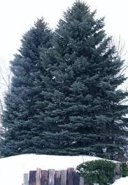 blue spruce trees colorado state tree colorado blue spruce