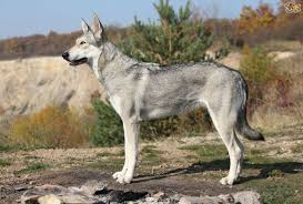afghan hound vs wolfhound saarloos wolfdog dog breed information buying advice photos and