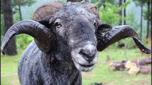 angry ram gets a haircut then attacks the cameraman youtube