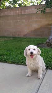 bichon frise 17 years old c a n it carrie and nina on the eve of carrie bradshaw u0027s