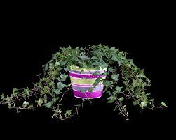 Herb Topiaries 2 25 Lb Green Ivy Plant W Pot Fresh U0026 Live Topiary Plants