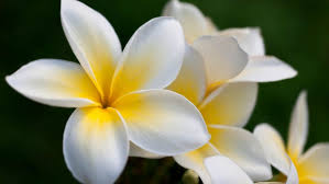 plumeria flower plumeria flower hd wallpaper 581775 wallpapers13