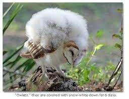 North American Barn Owl Common Barn Owl Barn Owl Desertusa