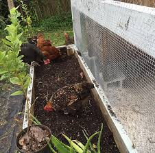 Chicken In Backyard Naturally Loriel Backyard Chickens Free Range Vs Enclosed Run