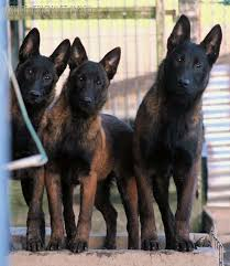 belgian shepherd vs doberman i love the dark faces the colouring is simply so amazing you can