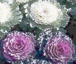 popular white bougainvillea seeds perennial buy cheap white