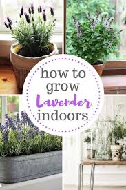 the ultimate care guide for growing lavender indoors growing