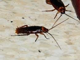 roaches in my bathroom baby roaches in bathroom samsungomania club
