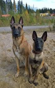 belgian malinois markings belgian malinois a collection of ideas to try about other