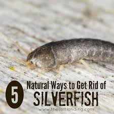 How To Get Rid Of Roaches In The Bathroom 5 Natural Ways To Get Rid Of Silverfish The Soft Landing