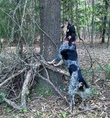 bluetick coonhound obedience duke blair1 jpg
