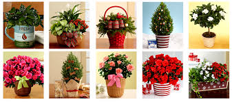 christmas plant christmas plant gifts ideas