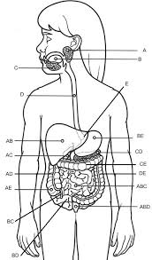 Human Ear Anatomy Quiz Practice Labeling The Organs Of The Digestive System Anatomy