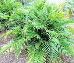Cateracterum Palm by Buy Chamaedorea Cataractarum Cascade Palm