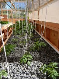 Growing Cucumbers Up A Trellis Vertical Growing In Aquaponics