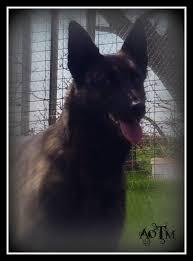 belgian sheepdog forum hi from france dutch shepherd forum