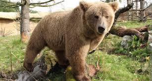 evidence u0027yeti u0027 himalayan black bear