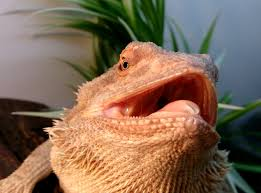 Bearded Dragon Behavior Before Shedding by Bearded Dragon Care Respiratory Infection Ri
