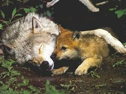 wolf pictures wolf and cub