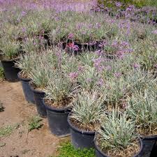 variegated society garlic budget plants