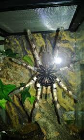 poecilotheria vittata ghost ornamental tom s big spiders