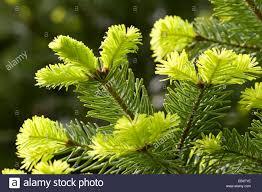 nordmann fir caucasian fir christmas tree abies nordmanniana