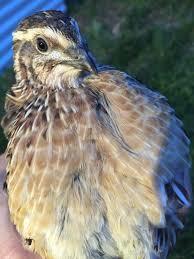 raising quail in the suburbs u2013 tomahawk permaculture