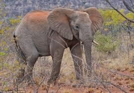 grey soooo season elephants change colours covering